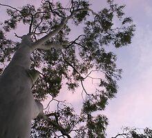 Winter Sunrise Gum Tree - Mawson Lakes, South Australia by Nathan Lam