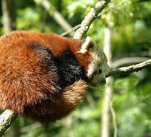 Red Panda - (Ailurus fulgens) by Robert Taylor
