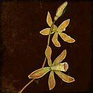 Botanica - Butterfly Orchid by Sybille Sterk