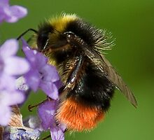 Red Tailed Bumble Bee by Gill Langridge
