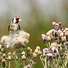 Goldfinch by Majnu
