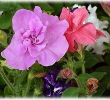 Pink n Purple Petunias by vigor