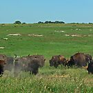 Bison in the Dust-Blue Mounds State Park, Luverne, Mn. by hastypudding