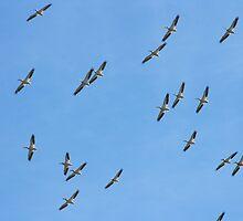 A Flock of Pelicans by Howard Lorenz