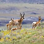 Pronghorn Family by Kim Barton