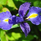 Iris after the rain by robwhitehead