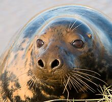 Atlantic Grey Seal - (Halichoerus grypus) by Robert Taylor