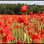 Poppy fields in Berkshire by derekwallace