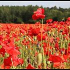 Poppy fields in Berkshire by derekwallace