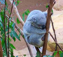 Koala and its Joey - Blackbutt Nature Reserve Newcastle Australia by darkfirev3