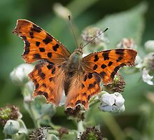 Comma Butterfly on Flower by Gill Langridge