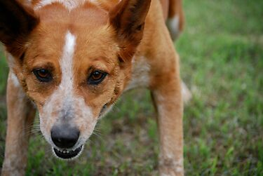 Focused Cattle Dog Mix by Suz Garten