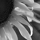 Sunflower in Black and White by CarmenLygia