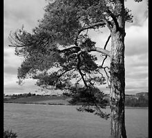 River tree [B&W] by Robert Karreman