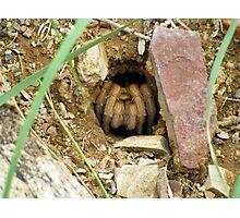 Arizona/Mexican Blonde Tarantula ~ Nesting Photographic Print