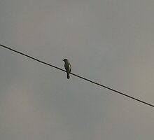 Bird on a wire by SUZYQ56