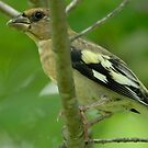 Peek-a-Boo Grosbeak by okcandids