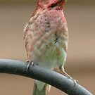 Purple Finch, puuuuuuuurple finch by okcandids