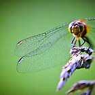 Dragonfly by TomConger