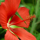 Texas Star(Hibiscus) by JohnDSmith