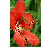 Texas Star(Hibiscus) Photographic Print