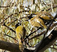 Blue-faced Honeyeater - feeding time by EnviroKey