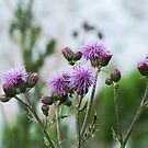 Thistle by welchko