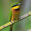 Little bee-eater, Kenya by Graeme Shannon