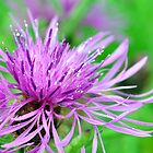 Knapweed by mattslinn