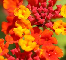 Spanish Flag Lantana by Timothy Adams