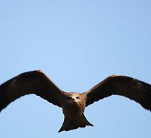 Black Kite by EnviroKey