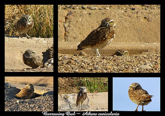 Burrowing Owl ~ Raptor Series by Kimberly P-Chadwick