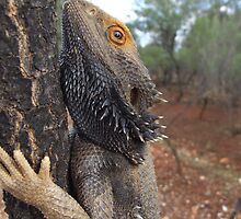 Central Bearded Dragon by EnviroKey