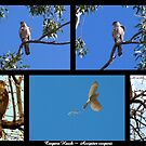 Coopers Hawk ~ Raptor Series by Kimberly Chadwick
