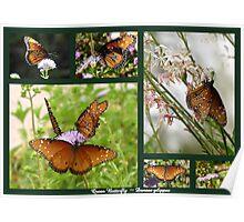 Queen Butterflies Poster