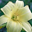 Gorgeous Yellow Lily by shellyb