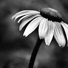 B&W Coneflower by Carrie Bonham