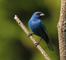 Indigo Bunting by Bill McMullen