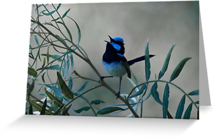 Superb Fairy Wren by garts