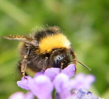 The Busy Bumble Bee (Cropped) by TREVOR34