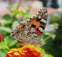 butterfly by Gino Lalic