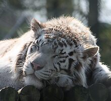 Sleeping White Tiger by s9ud