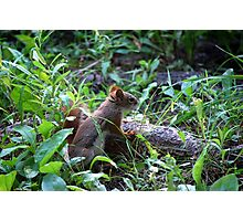 Mr. Red Friend - Red Squirrel Photographic Print