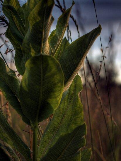 Backlit Milkweed by Aaron Campbell