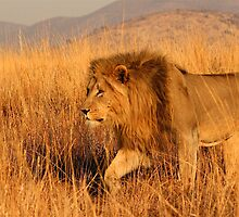 Male lion on the move by Graeme Shannon