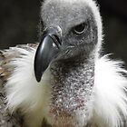 The White-backed Vulture  by angeljootje
