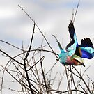 Lilac Breasted Roller - Zimbabwe by Sharon Bishop