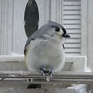 Tufted Titmouse by CarolD