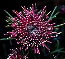 198208300056 Red flower with bug Bluff Knoll Stirling Ranges by Fred Mitchell