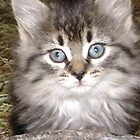 Beautiful kitten by stirlingacre
